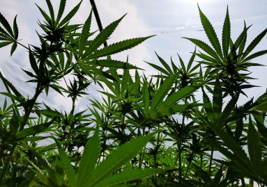 Apollo Grown Oregon Cannabis Farm