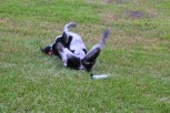 Hephzibah rolling around after a run.