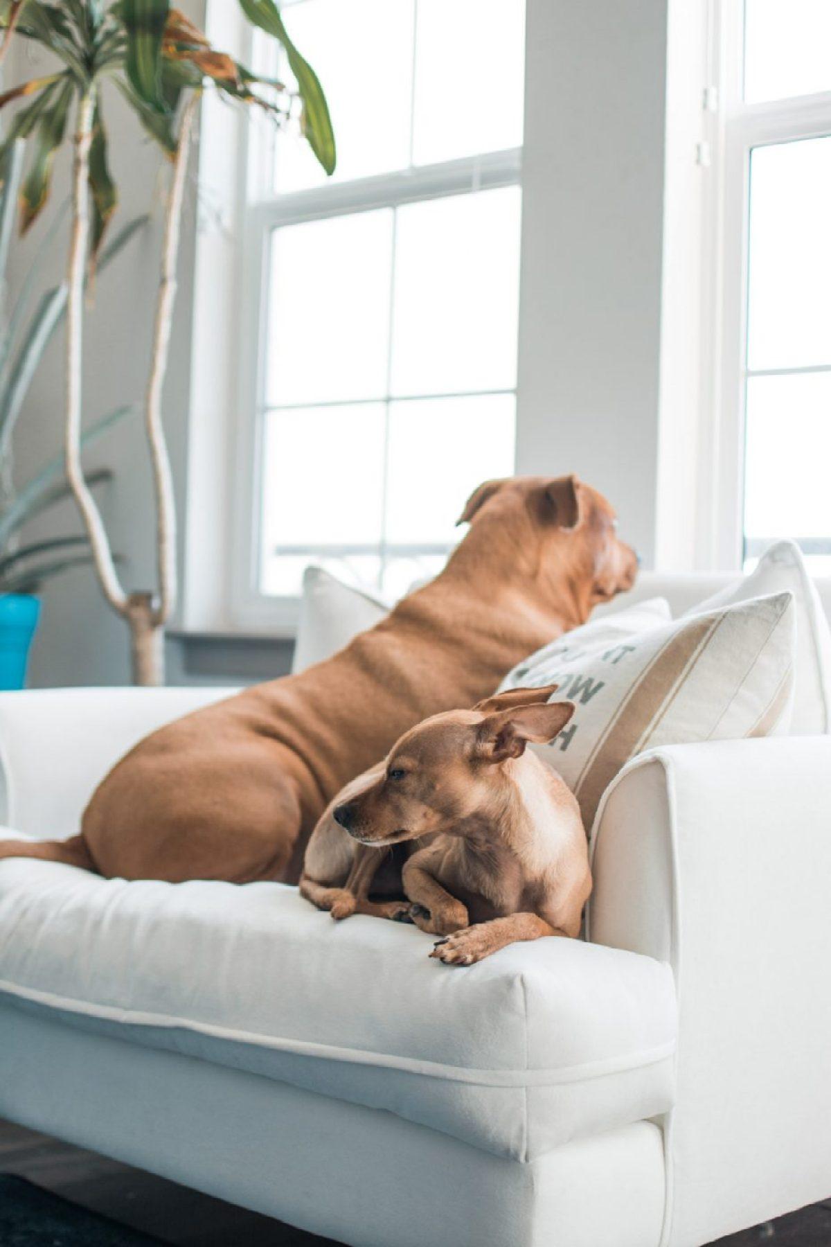 Dogs on Apt2b Saxon King Chair