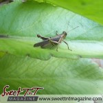 Brown grasshopper for superstitious story, Literature, Local Writings, Creole Corner in sweet T&T for Sweet TnT Magazine in Trinidad and Tobago