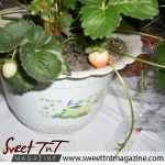 Strawberry at tableland-food-fiesta in sweet T&T for Sweet TnT Magazine, Culturama Publishing Company, for news in Trinidad, in Port of Spain, Trinidad and Tobago, with positive how to photography.