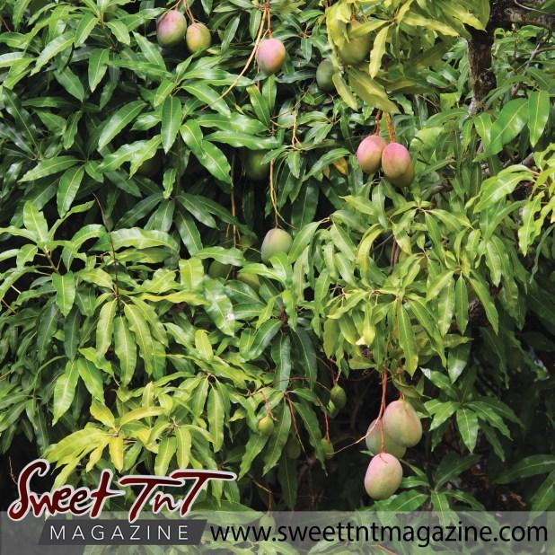 Preferred The Great Julie Mango Battle - Sweet TnT Magazine LO74