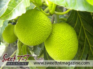 Young breadfruit on tree in sweet T&T for Sweet TnT Magazine, Culturama Publishing Company, for news in Trinidad, in Port of Spain, Trinidad and Tobago, with positive how to photography.