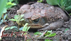 Central's carefree crapaud by Nadia Ali, frog, toad, amphibian, in Sweet T&T, Sweet TnT Magazine, Trinidad and Tobago, Trini, vacation, travel