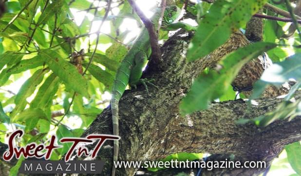 Iguana in my mango tree by Candida Khan