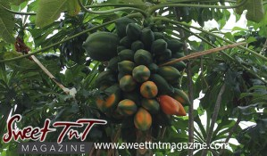 Papaya or paw paw tree, leaves, fruit, green, ripe, plant in garden in San Juan for article grow your own food in Sweet T&T, Sweet TnT, Trinidad and Tobago, Trini, vacation, travel