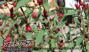 Sorrel or Roselle plant in garden in Aranguez for article grow your own food in Sweet T&T, Sweet TnT, Trinidad and Tobago, Trini, vacation, travel