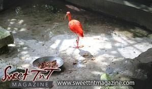 Scarlet Ibis, National bird, Emperor Valley Zoo, Sweet T&T, Sweet TnT, Trinidad and Tobago, Trini, travel, vacation, animals
