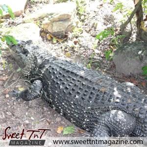 Crocodile back, Emperor Valley Zoo, Sweet T&T, Sweet TnT, Trinidad and Tobago, Trini, travel, vacation, animals, Zoorific