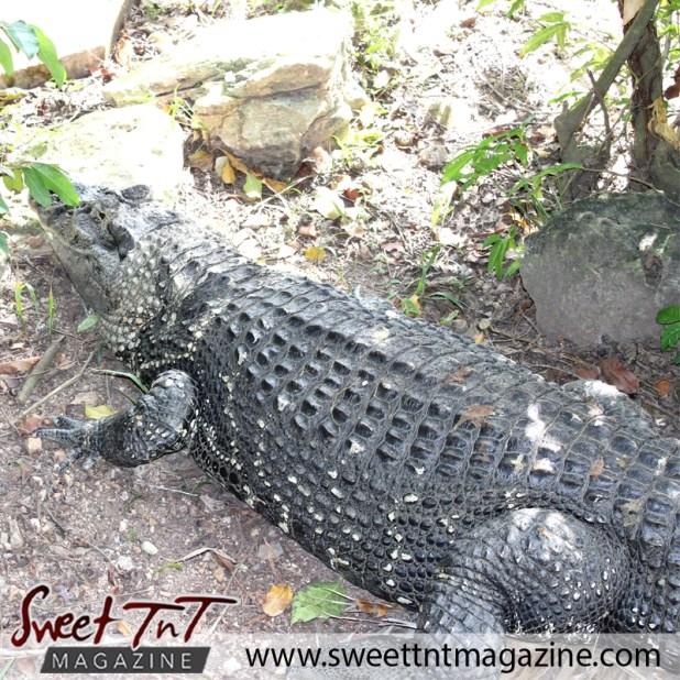 zoo crocodile back