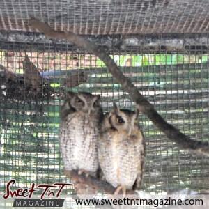 Owls, Emperor Valley Zoo, Sweet T&T, Sweet TnT, Trinidad and Tobago, Trini, travel, vacation, animals, Zoorific
