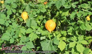 Carilee, Bush Medicine, Baby making dos and don'ts, Sweet T&T, Sweet TnT, Trinidad and Tobago, Trini, Travel, Vacation, Tourist,