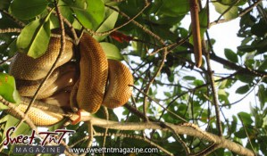 Caroni Swamp, boats, Scarlet Ibis, snakes, Sweet T&T, Sweet TnT, Trinidad and Tobago, Trini, Travel, Vacation, Tourist,