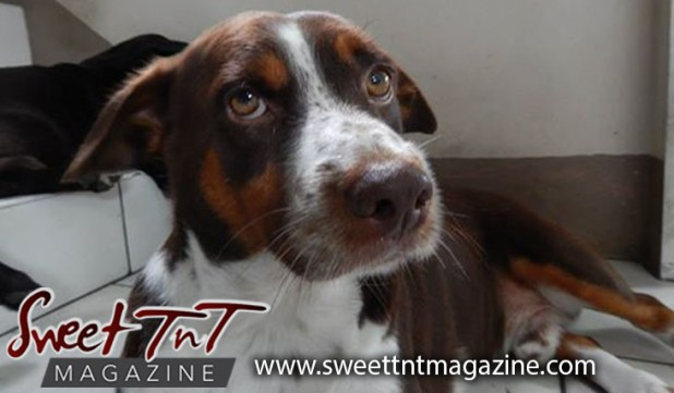 Brown and white dog by Candida Khan for fireworks article in sweet T&T for Sweet TnT Magazine, Culturama Publishing Company, for news in Trinidad, in Port of Spain, Trinidad and Tobago, with positive how to photography.