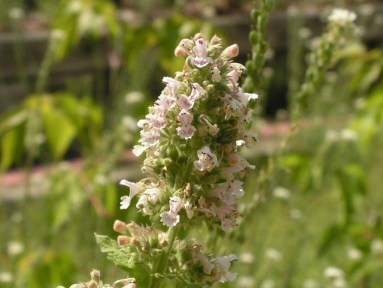 Keep insects away. Catnip