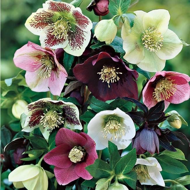 Hellebore petals