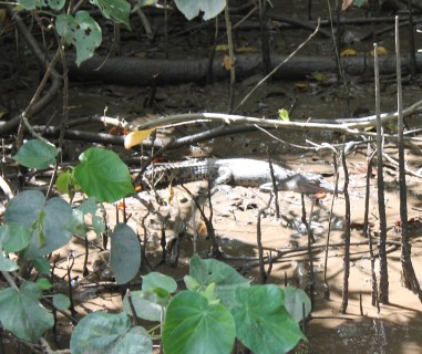 Two year old crocodile on the Daintree River