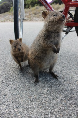 Quokka and baby!