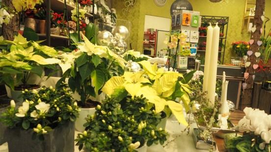 Weihnachtssterne in hellem Gelb..