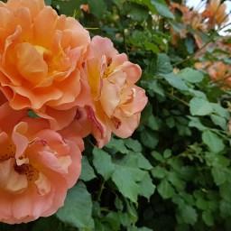 Rosen, Rüben, Rizinus