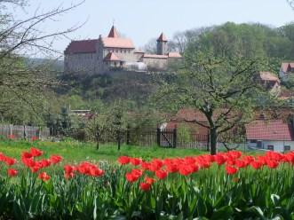 Niederburg-Tulpen br