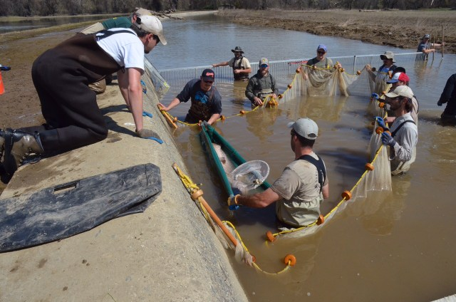 Threatened Green Sturgeon Rescued from the Fremont Weir and Returned to Sacramento River