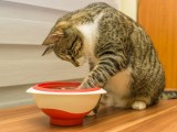 Is you cat vomiting frequently? There may be cause for concern.