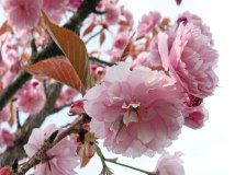 rosetree2