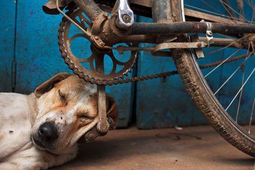 Perro durmiendo bici