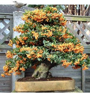 Pyracantha in fruit