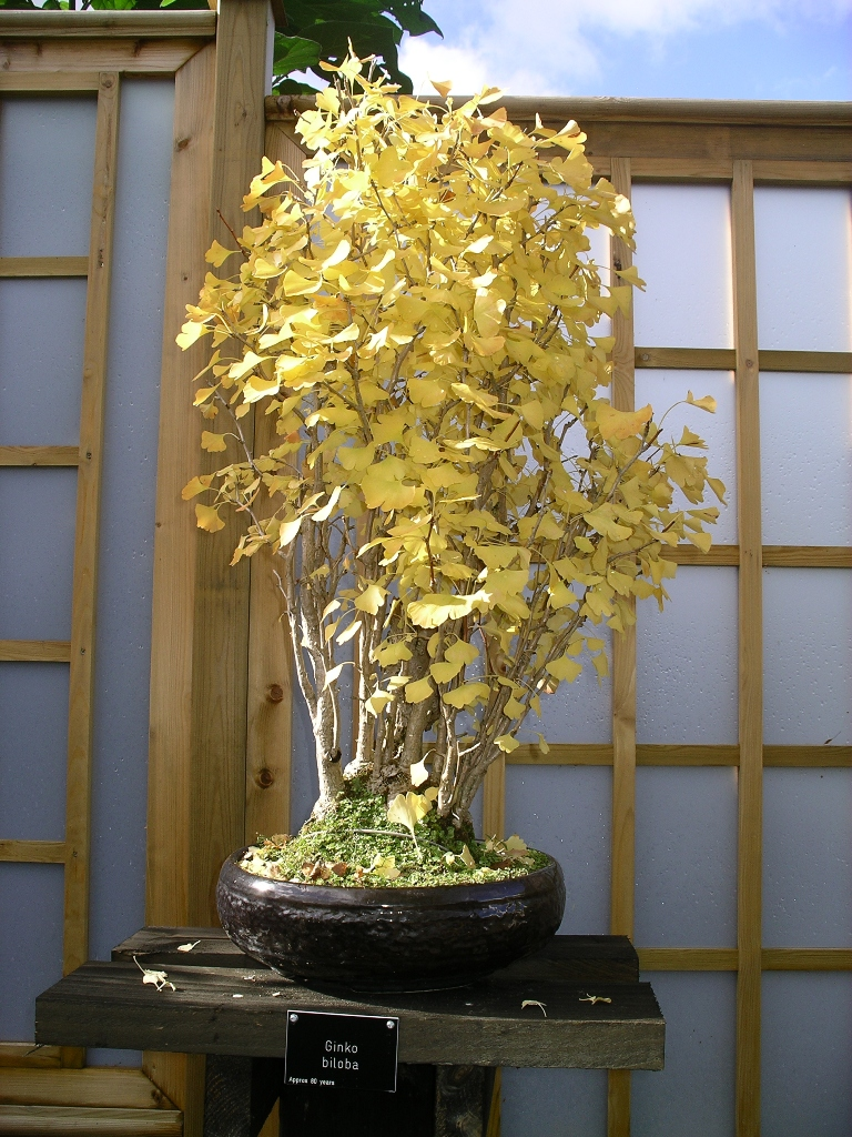 Introduction To Ginkgo S As Bonsai Swindon District Bonsai