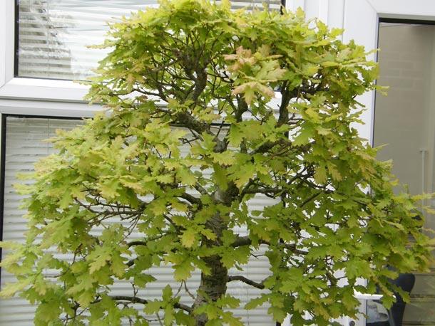 Bonsai English Oak crown