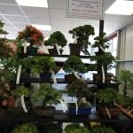 Ken Leaver of Windybank bonsai