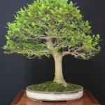 Celtis australis (European nettle tree)