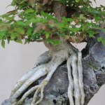 Trident Maple in root over rock style