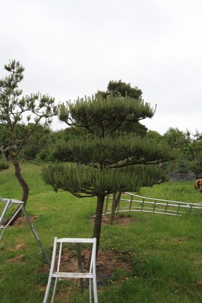 Pine tree prior to candle pruning