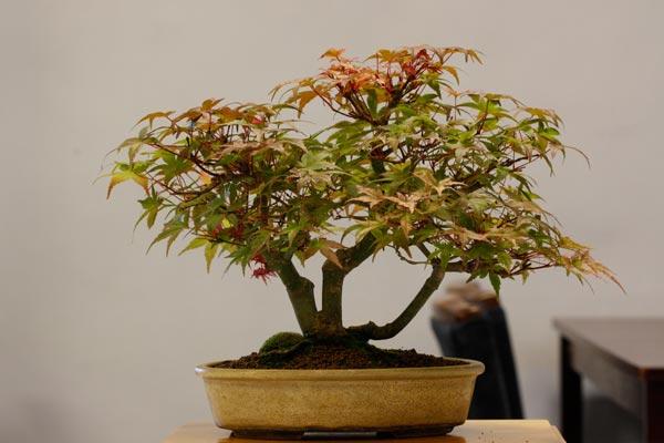 3rd place: Deshojo Maple 'Acer palmatum Deshojo'