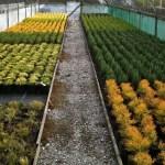 Swanborough Conifers