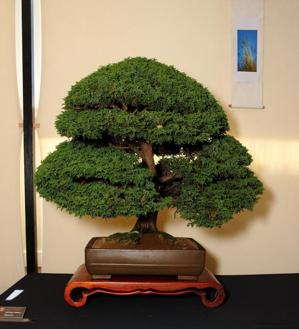 Hinoki Cypress RB