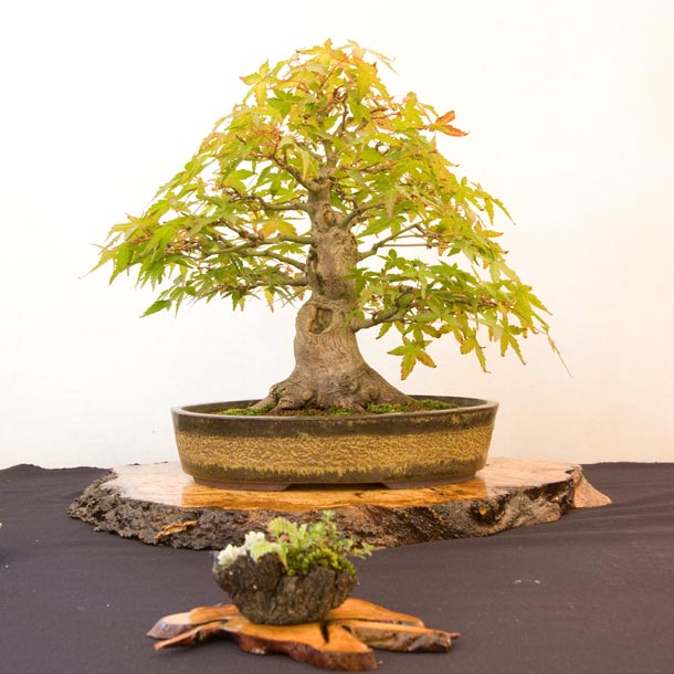 Bristol Bonsai Show 2011