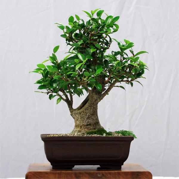 Taiwanese Fig