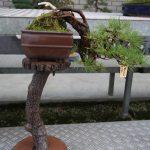 Cascade Pine