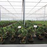Taiwan Figs