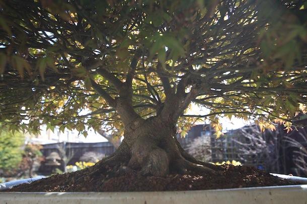 Acer palmatum 'Kiyohime' March 2012 main trunk