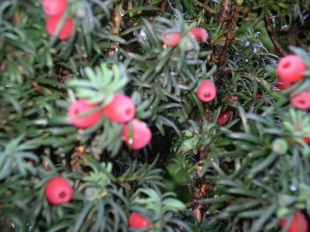 Female Yew tree