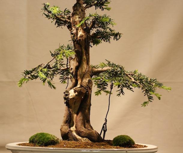 Yew Trees As Bonsai Swindon District Bonsai