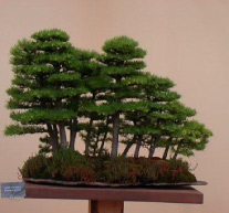 A Group of Japanese Larch. Planted in 1976