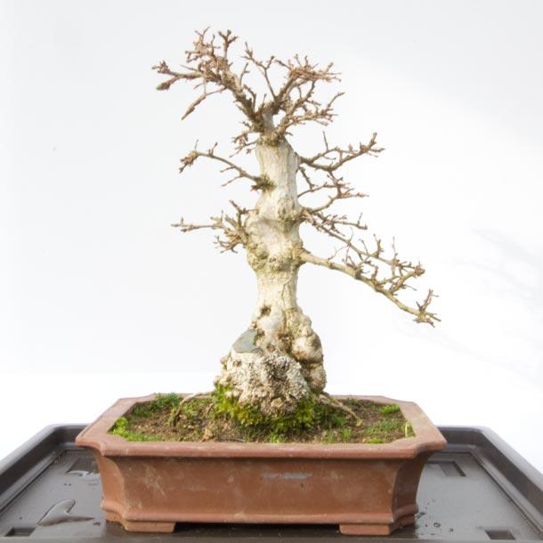 Carpinus turczaninowii Winter Show 2013 Raffle Prize