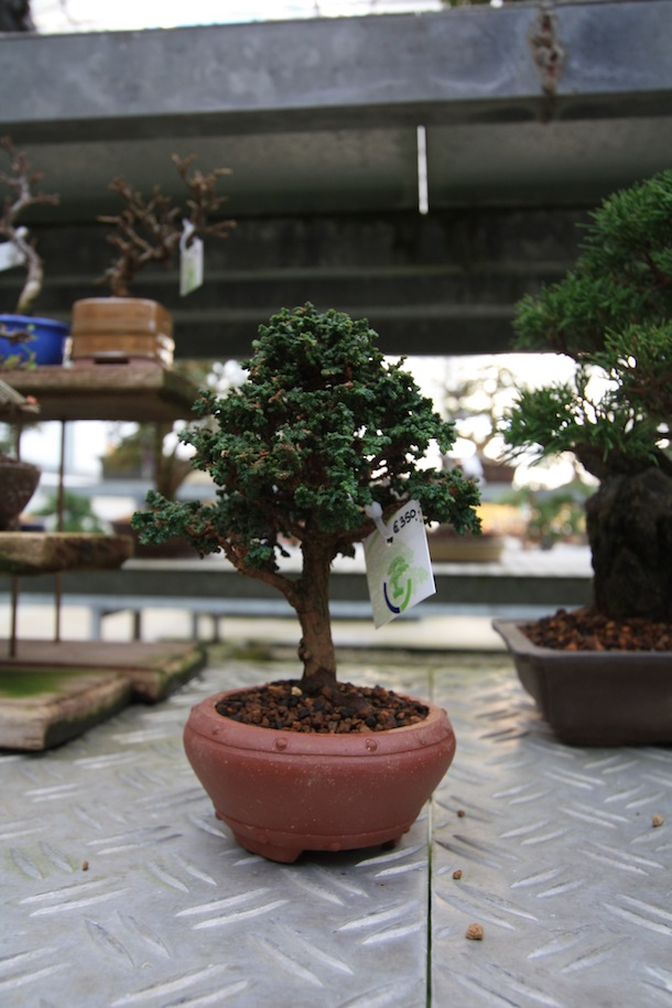 Evergreen bonsai trees swindon district bonsai for Evergreen shop
