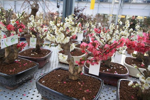 Prunus mume_2